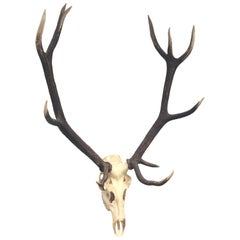 Large Uneven Eleven Ends Deer Antler Skull Hunt Trophy Vintage, German, 1960s