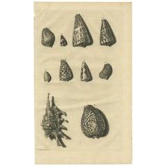 Antique Print of Shells 'No. 20' by Valentijn, 1726