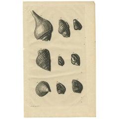 Antique Print of Shells 'no. 92' by Valentijn, 1726