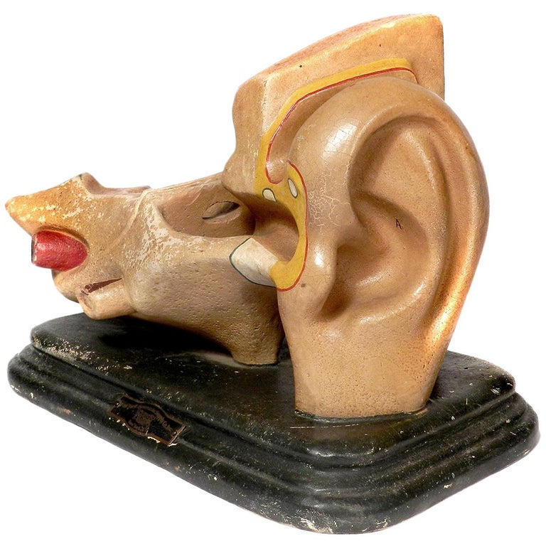 Early Anatomical Model of the Ear For Sale