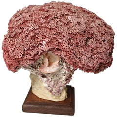 Beautiful Rare Old Deep Sea Red Bloom Coral Specimen