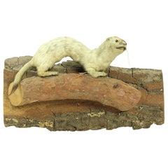 Taxidermied Life-Like Weasel on Natural Pine Base, Czecholovakia, circa 1930s