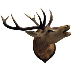 Large Taxidermy Trophy of a Mounted Stag's Head