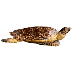 Authentic Large Hawksbill Sea Turtle