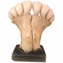 20th Century Anatomic Donkey Teeth Model Italian Wunderkammer Curiosity