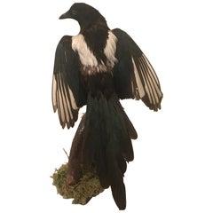 Vintage Belgian Taxidermy Ekster 'Magpie' Bird