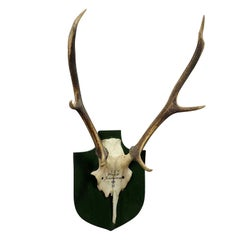 Large Black Forest Deer Trophy from Salem, Germany Kleeholz, 1956