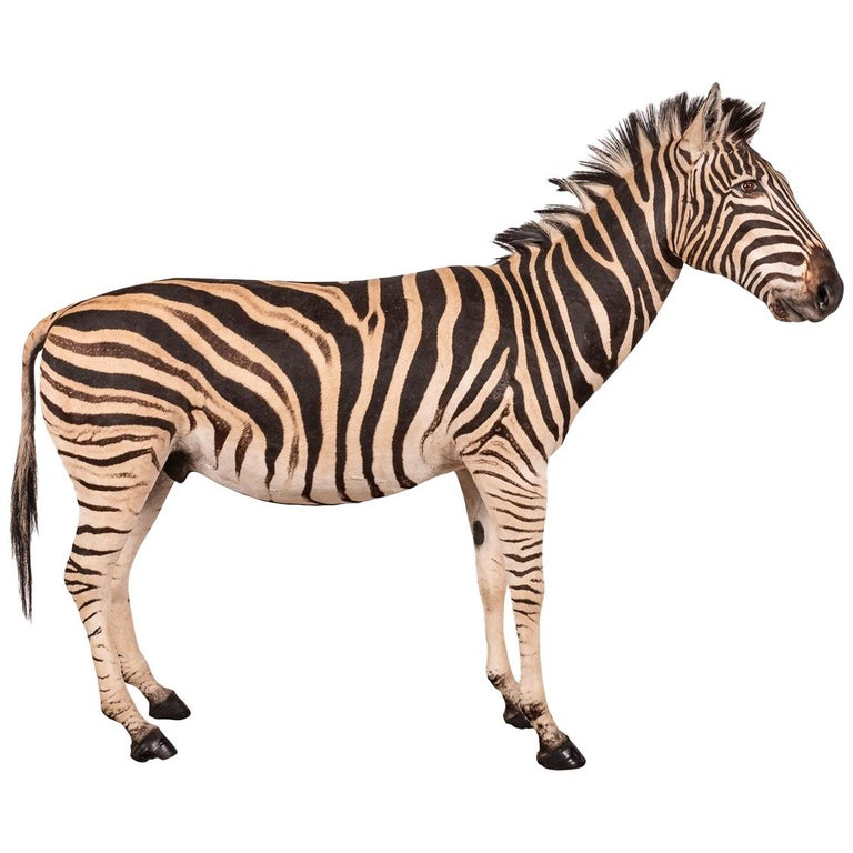 Impressive Late 20th Century Full Mount Taxidermy Zebra For Sale