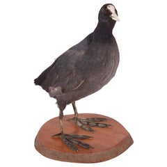 20th Century English Taxidermy Coot Bird