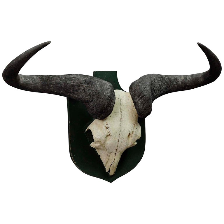 Vintage African Wildebeest Trophy For Sale