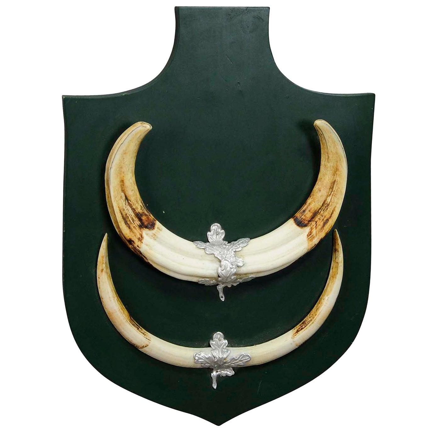 Great African Wart Hog Trophy Mount on Wooden Plaque
