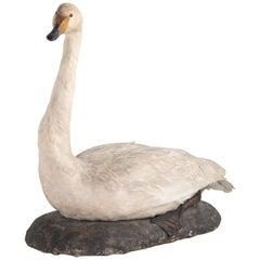Taxidermy Mute Swan, England, circa 1930