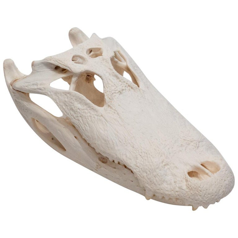 Authentic Very Large Alligator Skull For Sale