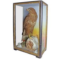 1904 Taxidermy Study of a Hawk