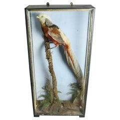 Cased Golden Pheasant