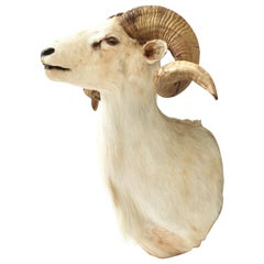 Taxidermy Sheep Wall Mount