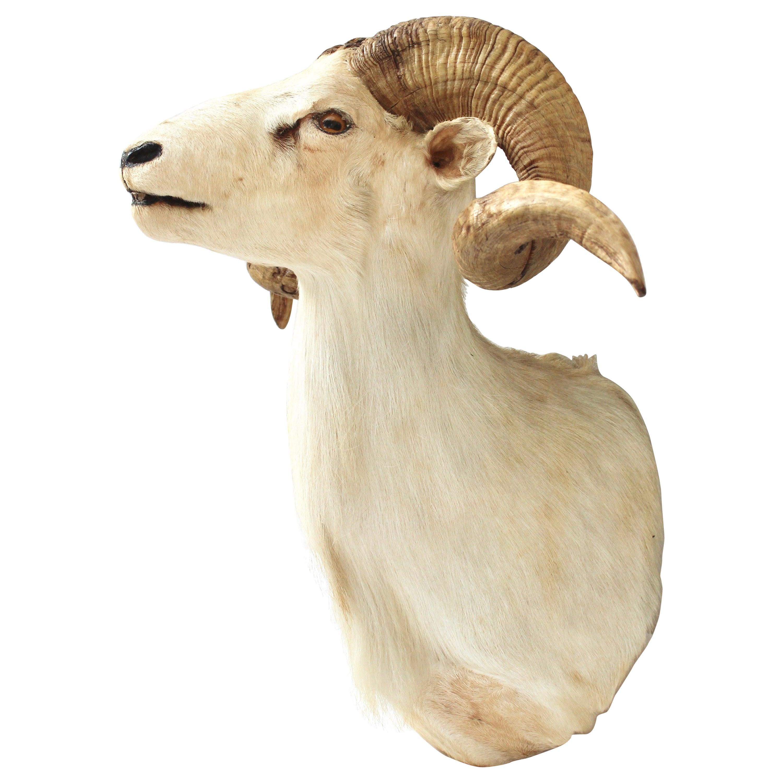 Taxidermy Sheep Wall Mount