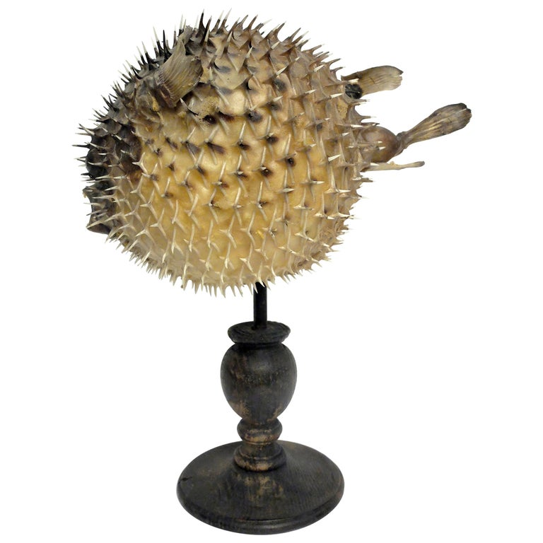 19th Century Wunderkammer Marine Natural Taxodermie Specimen of a Porcupine Fish For Sale