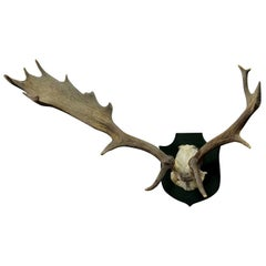 Black Forest Fallow Deer Trophy from Salem, Spain, 1979