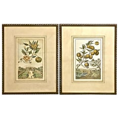 Pair of J. C. Volkamer Hand-Colored Botanical Engravings, circa 1708