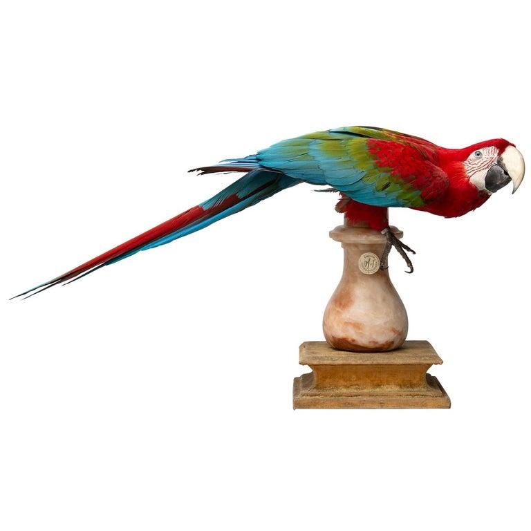 Fine Taxidermy Red-and-Green Macaw II by Sinke & Van Tongeren For Sale