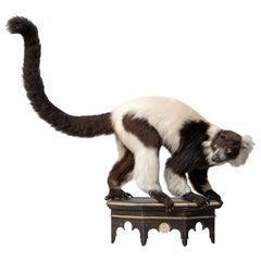Fine Taxidermy Black and White Ruffed Lemur by Sinke & Van Tongeren