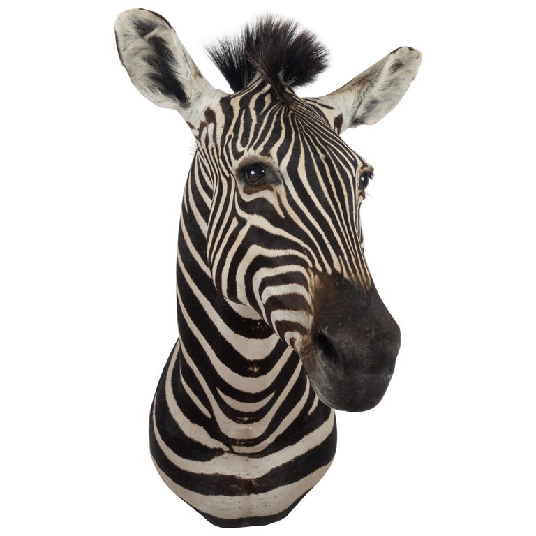 Premier Quality Taxidermy Burchell's Zebra Shoulder Mount from South Africa For Sale