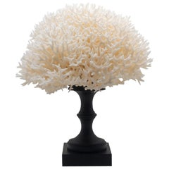 Bird's Nest Coral Mounted