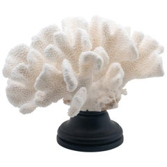 Catspaw Coral Mounted