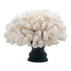 Cauliflower Coral Mounted