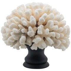 Cauliflower Coral Mounted