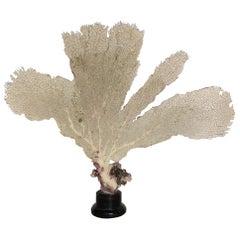 Natural Sea Fan Coral Mounted on an Ebonized Base