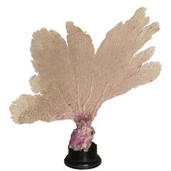 Natural Sea Fan Coral Mounted on an Ebonised Base