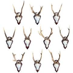 Collection of Ten German Roe Deer Trophy Mounts