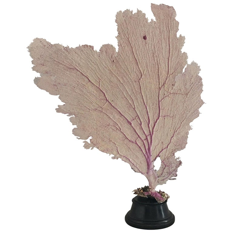 Natural Sea Fan Coral Mounted on an Ebonised Base For Sale