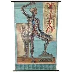 1938 Pull Down Anatomy Chart, Denoyer-Geppert, Artist P.M. Lariviere