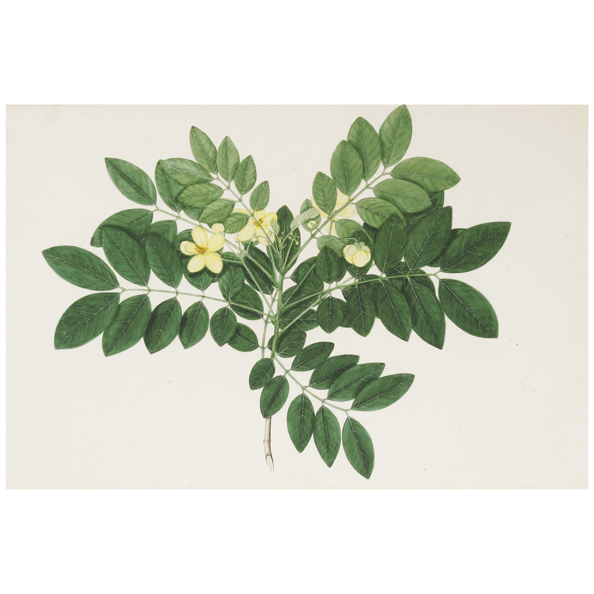 19th Century Watercolour of an Indian Shrub with Yellow Blossom by Janet Dick