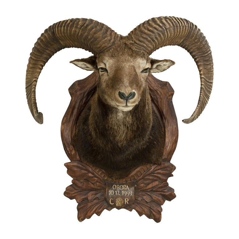 Vintage Taxidermy Mouflon Shoulder Mount on Carved Shield, Mountain Goat For Sale