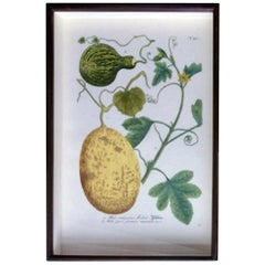 Johann Weinmann Botanical Engraving of Gourds, Plate 721, circa 1740