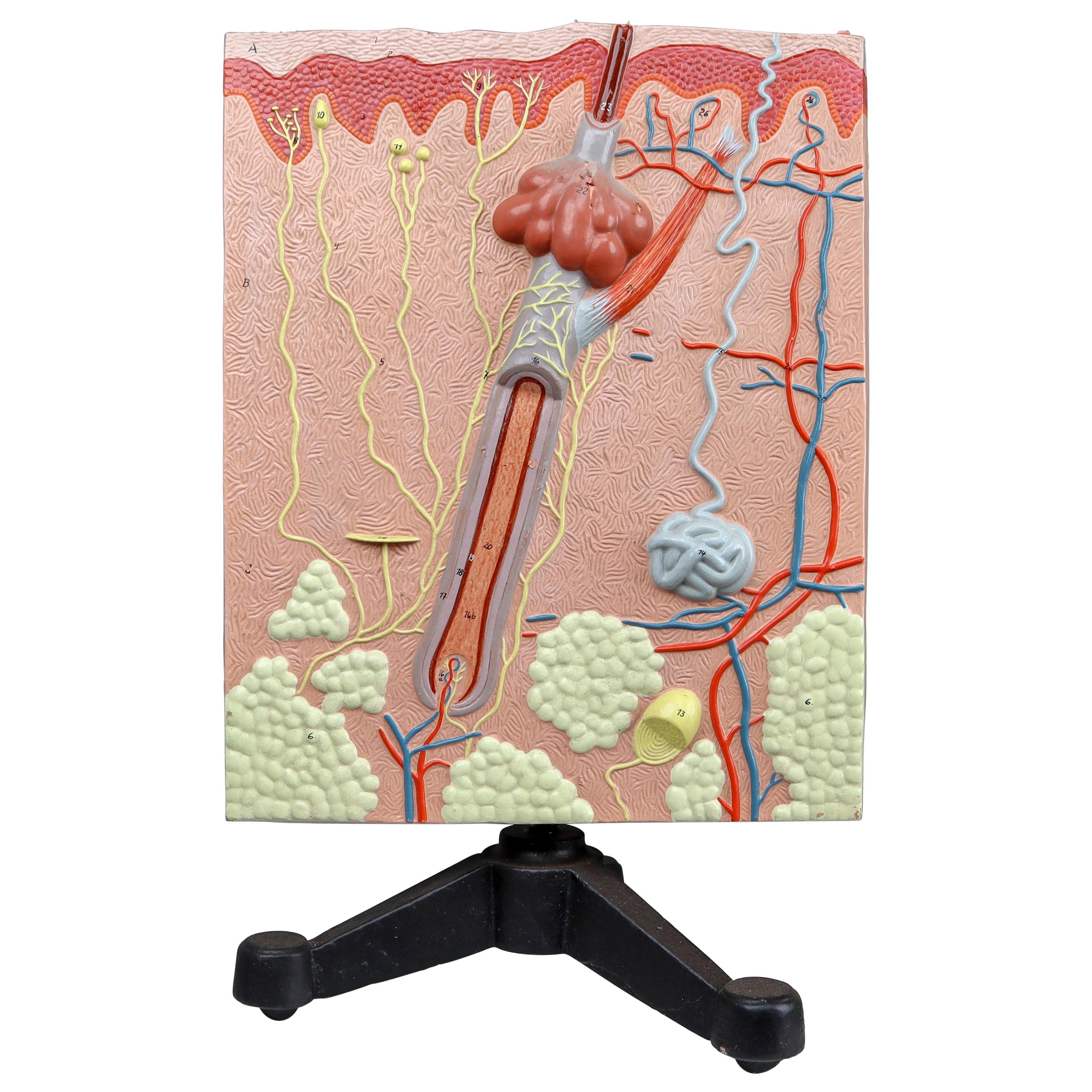 Anatomical Teaching Model Plaster on Metal Base Czech Republic, 1960s