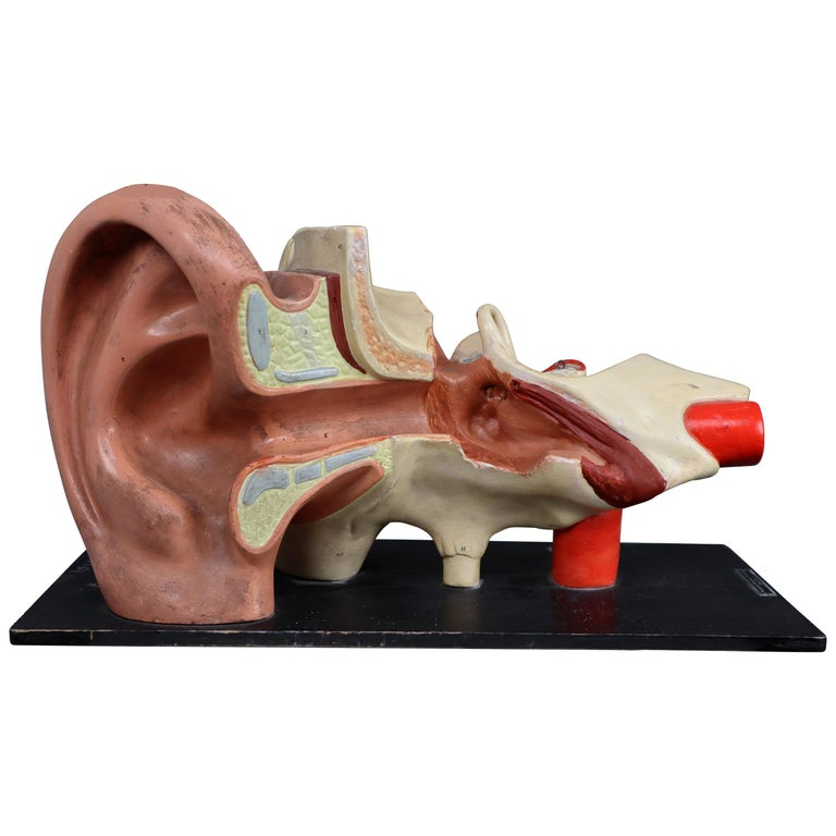 """Large Anatomical Teaching """"Human Ear"""" Model Plaster and Wood Germany, 1930s For Sale"""