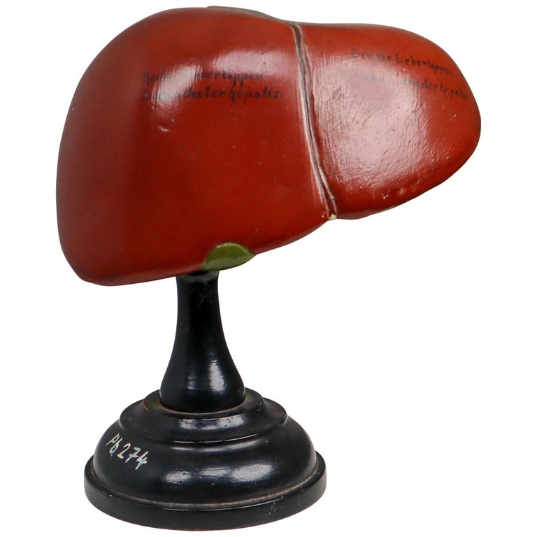 """Anatomical Teaching """"Liver"""" Model Germany, 1930s For Sale"""