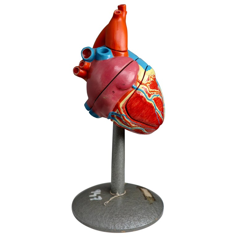 """Large Anatomical Teaching Model """"Heart"""" Germany, 1940s For Sale"""