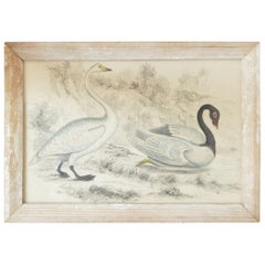 Original Antique Print of Swans, 1847