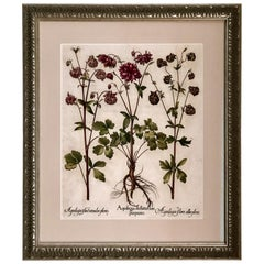 Superb Besler Copperplate of Aquilegia
