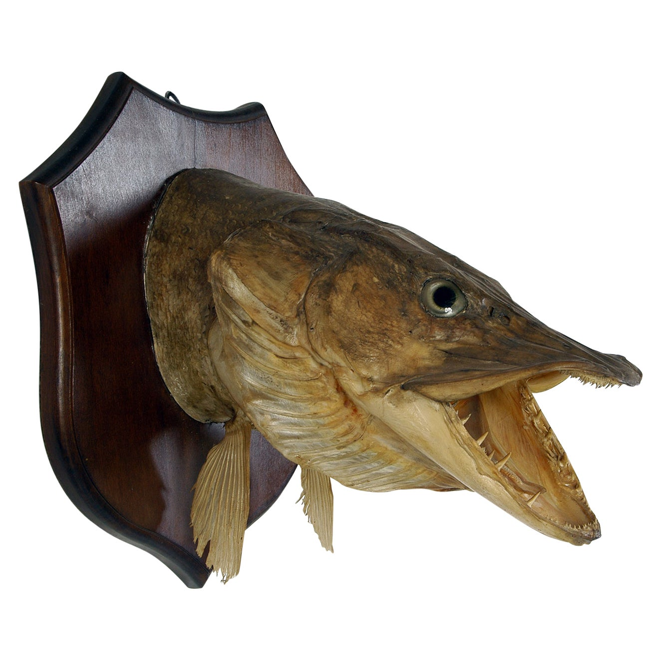 Large Decorative 20th Century Vintage Taxidermy Fish Wall Mounted Pike Head