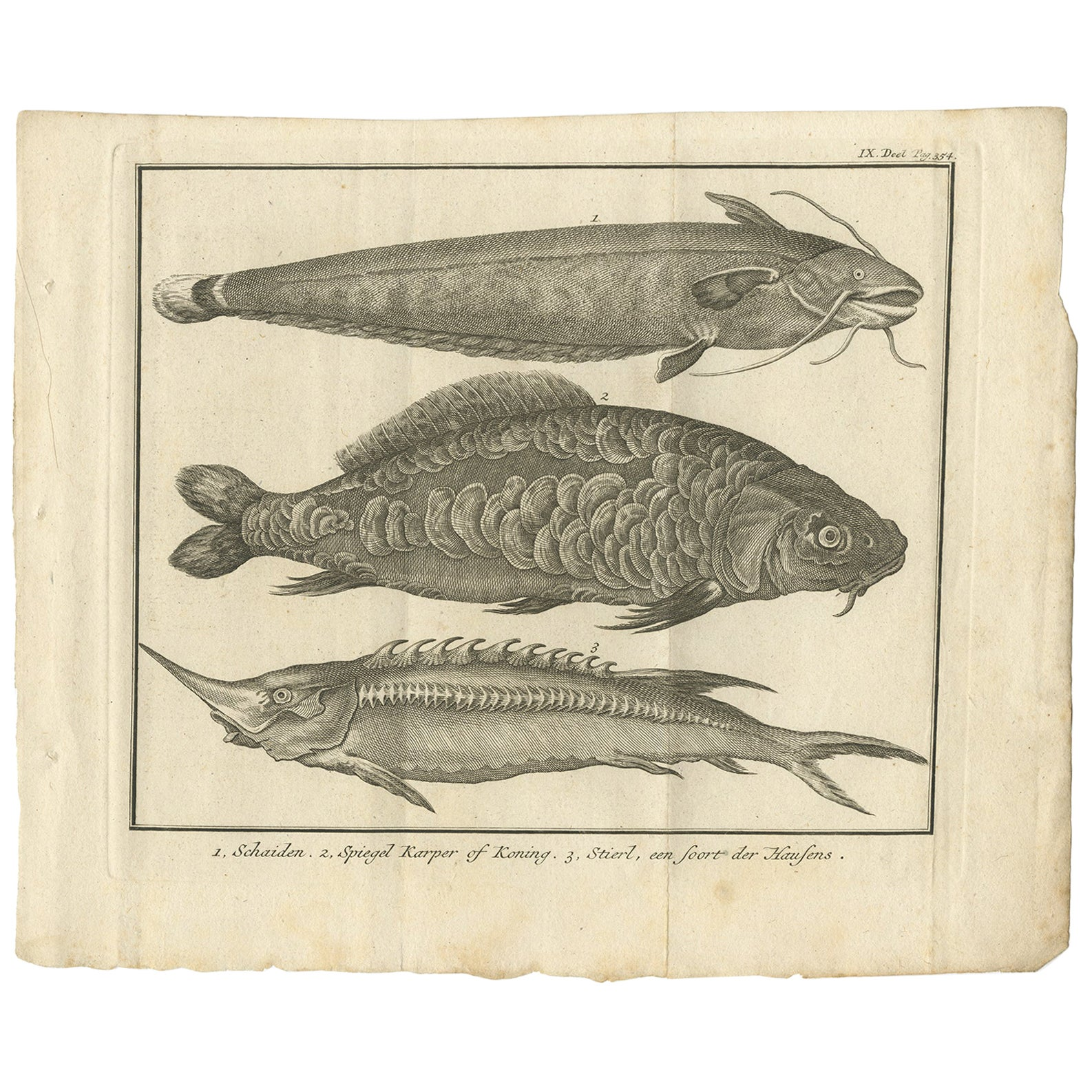 Antique Print of a Catfish and other Fish Species by Salmon, 1737