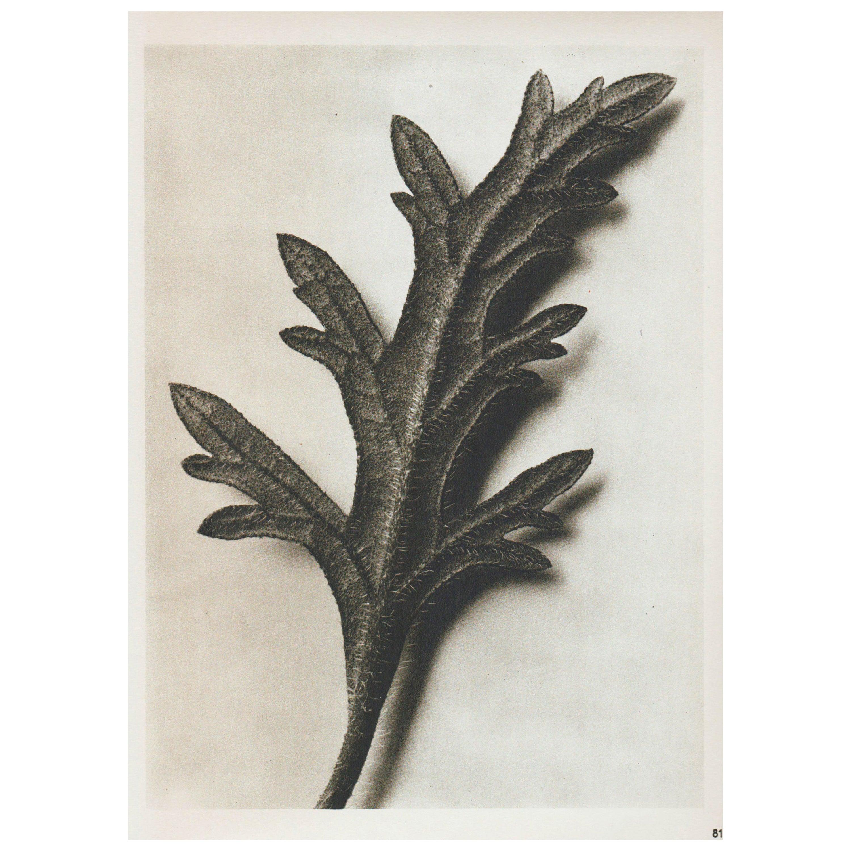 Karl Blossfeldt Mid-Century Modern Photogravure Botanic Photography, 1942