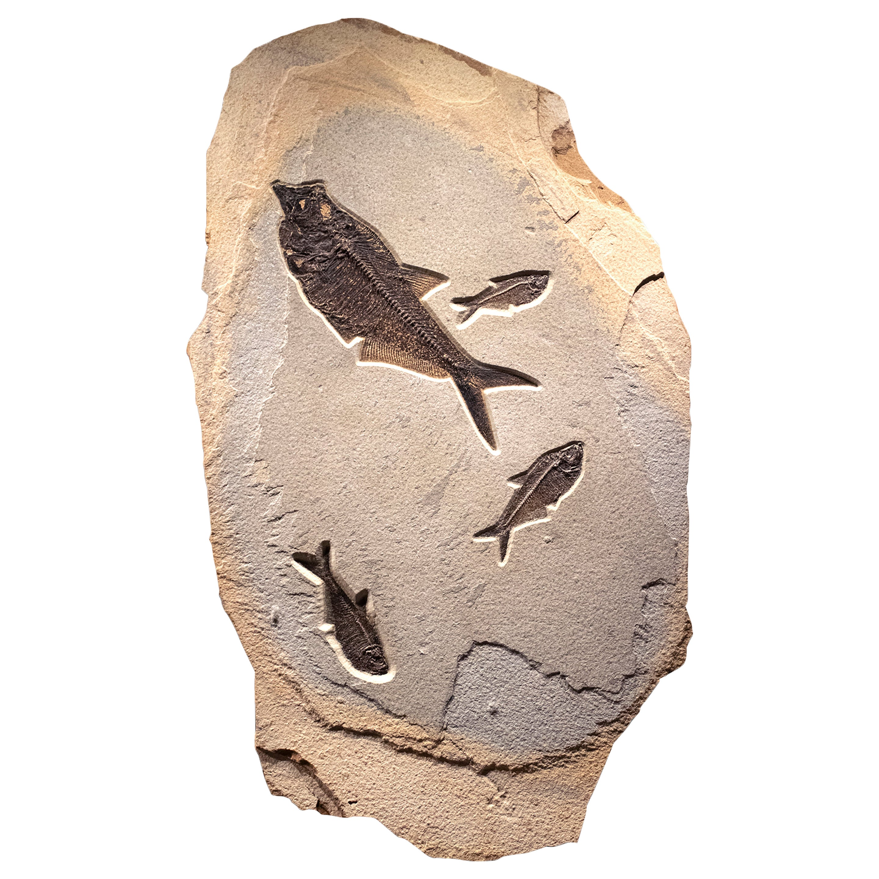 50 Million Year Old Eocene Era Fossil Fish Mural in Stone, from Wyoming