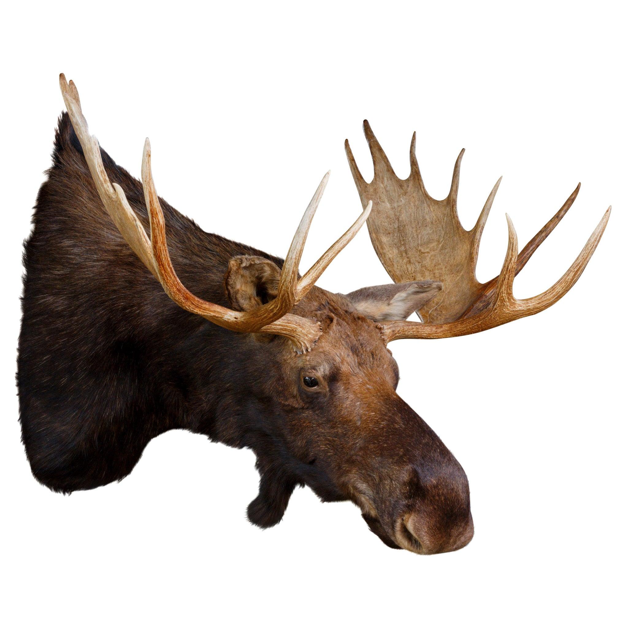 Shiras Moose Mount
